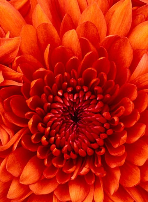 cropped-chrysanthemum.jpg